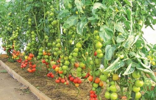 Грядки для помидор своими руками фото