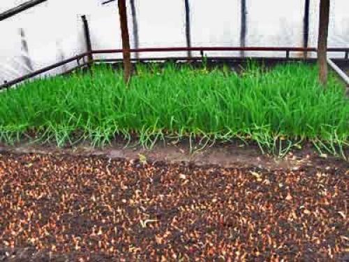 Когда сажать лук в теплицу на зелень весной 55