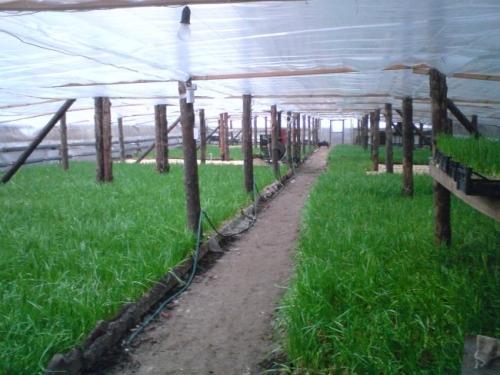 Выращивание лука на зелень в теплице 87