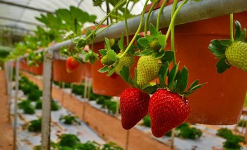 Видео как выращивать клубнику в теплице круглый год