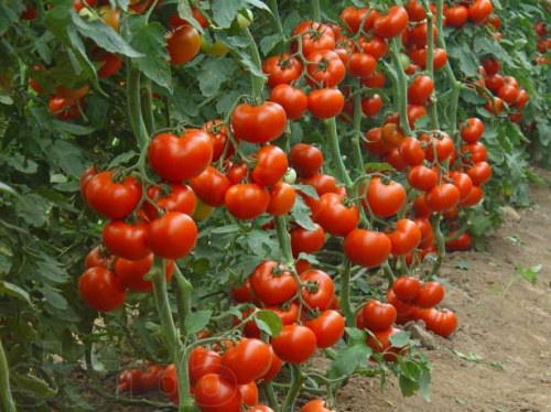 Технология выращивания помидоров в открытом грунте на Урале 85