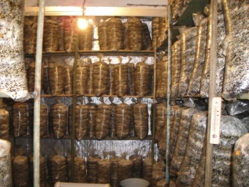Вешенки шампиньоны выращивание в домашних условиях