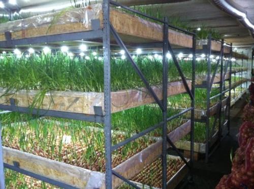 Выращивание лука на зелень в теплице 59