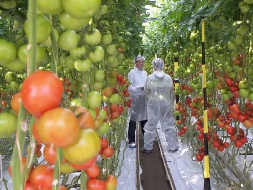 Можно ли сажать помидоры с луком 409