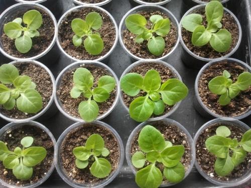 как сажать семена в теплице