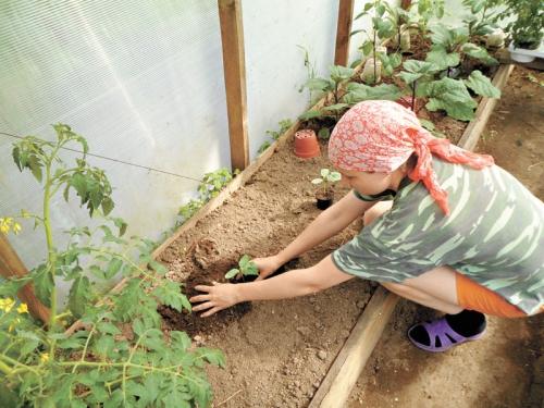 Можно ли сажать в теплицу с помидорами репчатый лук 29