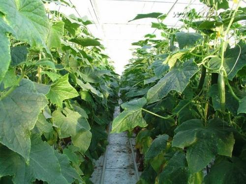 Бизнес план выращивание огурцы 74