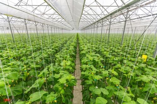 Промышленное выращивание огурцов в теплице 37