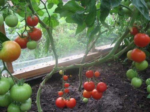 Можно ли выращивать арбузы в теплице вместе с помидорами?
