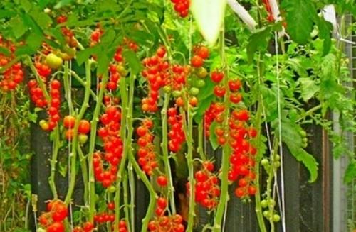 Вирощування помідорів черрі на балконі, у відкритому грунті .