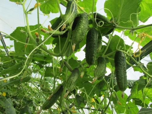 как вырастить много огурцов в теплице