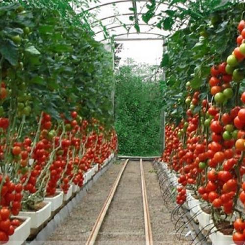 Выращивание помидоров в теплице из поликарбоната 7