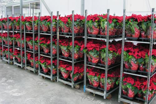 Видео выращивание хризантем в теплице бизнес