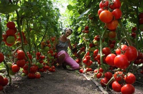 Подкормка помидор и перца: дрожжами, йодом. Чем