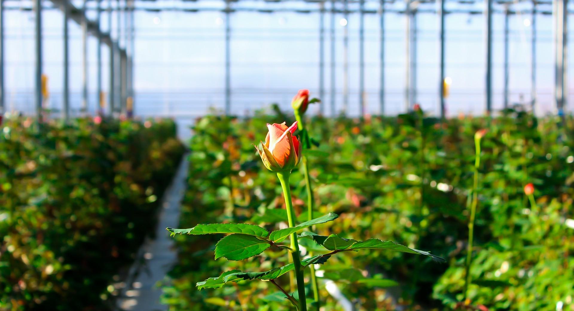 Бизнес на выращивание помидоров в теплицах круглый год