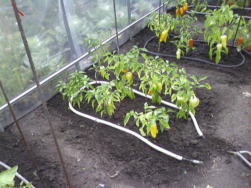 Капельный полив помидор в теплице своими руками